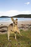 Eastern Grey Kangaroo (Macropus giganteus) sub-adult scratching iteself on beach, Pebbly Beach, Murramarang National Park, New South Wales, Australia