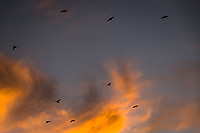 Crows fly by against a background of sunset clouds on a winter evening.