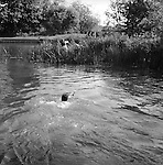 The Valley Minkhounds..Whipper-in, Simon Haines, swims across the river Kennet following the hounds who are in pursuit of their quarry. Near Aldermaston, Berkshire. ..Hunting with Hounds / Mansion Editions (isbn 0-9542233-1-4) copyright Homer Sykes. +44 (0) 20-8542-7083. < www.mansioneditions.com >..