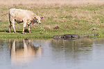 Damon, Texas; a white cow looks up to inspect a nearby adult, American alligator warming itself on the bank of the slough