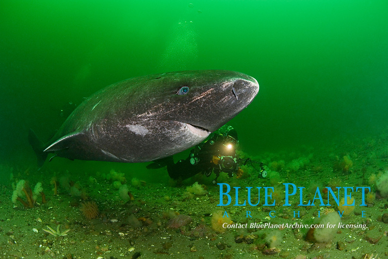 Greenland sleeper shark, Somniosus microcephalus, & photographer, St. Lawrence River estuary, Canada, Quebec, (this shark was wild & unrestrained; it was not hooked and tail-roped as in most or all photos from the Arctic)