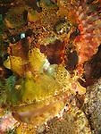 Orchid Island, Taiwan -- Close-up of a tassled scorpionfish, Scorpaenopsis oxycrphala.