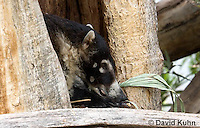 0717-1101  White-nosed Coati (Pizote, Antoon, Tej—n), Resting in a Tree Cavity, Racoon Family, Arizona, Nasua narica  © David Kuhn/Dwight Kuhn Photography