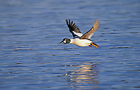 Common Goldeneye - drake. North America..(Bucephala clangula).