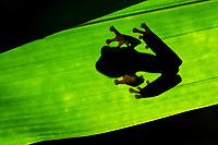 red-eyed treefrog, Agalychnis callidryas, silhouette, in rainforest, Costa Rica