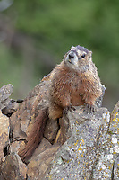 Marmot at Yellowstone National Park, Wyoming