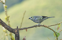 Palm tanager, Thraupis palmarum, Tandayapa Valley, Ecuador
