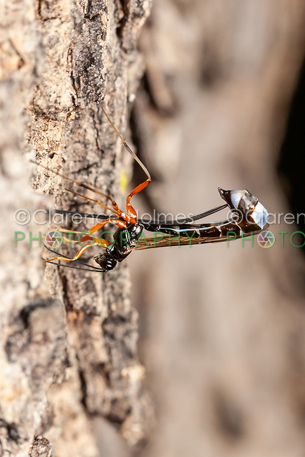 A female Ichneumon wasp (Rhyssella nitida) oviposits into the side of a dead Oak (Quercus sp.) tree.
