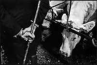 Europe/France/Bourgogne/Saône-et-Loire/St Christophe en Brionnais: Marché aux bovins charolais - vaches