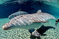 bottlenose dolphins, Tursiops truncatus (c), Dolphin Quest, Hawaii (not to be used to promote anti-captivity campaigns)