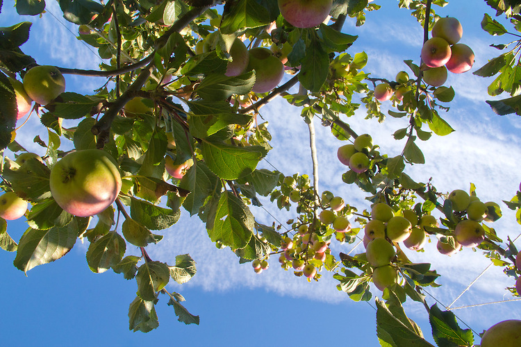 Aplenfire Organic Hard Cider, Alpenfire Orchard, apple trees, Port Townsend, Washington State, organic farms,