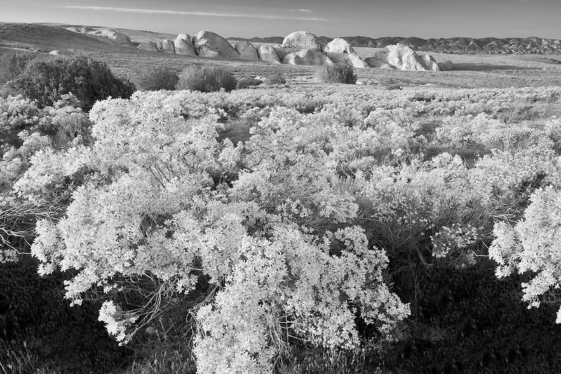 Interior Golden Bush (Ericamaenia linearifolia). Carrizo Plain. California