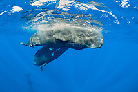 two sperm whaless, Physeter macrocephalus, play to each others. The sperm whales is the largest of the toothed whaless. sperm whaless are known to dive as deep as 1,000 meters in search of squid to eat. Image has been shot in Dominica, Caribbean Sea, Atlantic Ocean, photo taken under permit n°RP 16-02/32 FIS-5