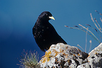Alpine Chough, Pyrrhocorax graculus, adult, Niederhorn, Interlaken, Switzerland, August 1998