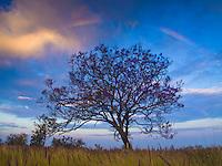 At sunrise, a light rainbow shimmers over a Jacaranda tree in Pu'uanahulu, Big Island.