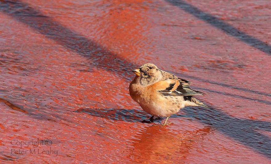 Female Brambling, picture taken on a ship south of the Aleutian Islands