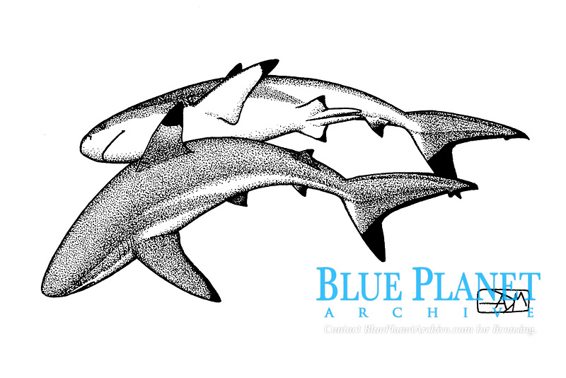 blacktip reef shark, Carcharhinus melanopterus, male above and female below, pen and ink illustration