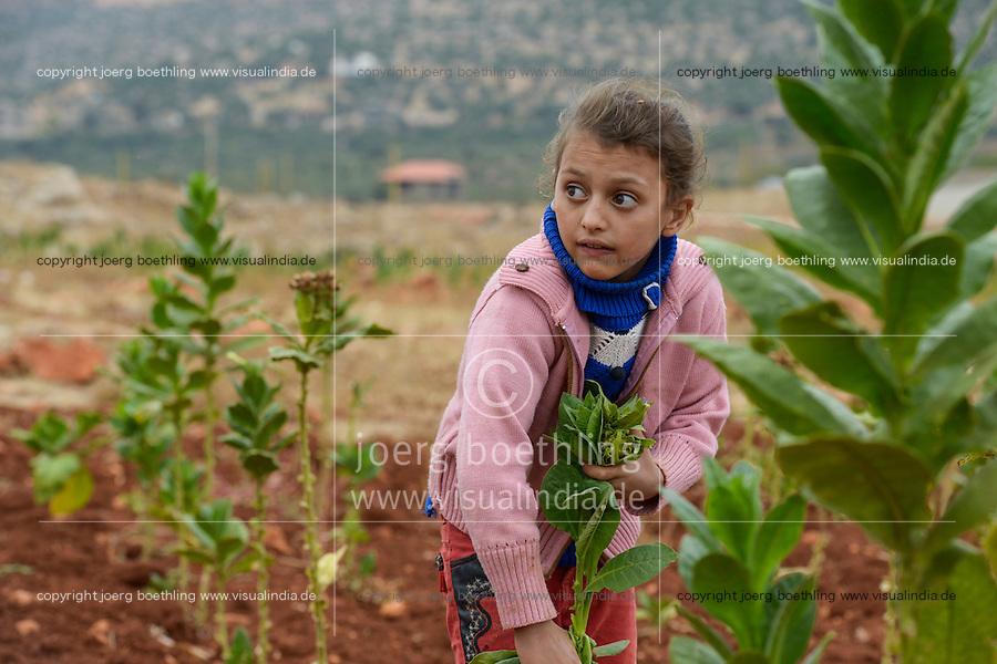 LEBANON Deir el Ahmad, camp for syrian refugees, children work as saisonal worker, tobacco harvest / LIBANON Deir el Ahmad, Camp fuer syrische Fluechtlinge am Dorfrand, Kinder arbeiten als Erntehelfer, Tabakernte, Mädchen Rasha, 13 Jahre