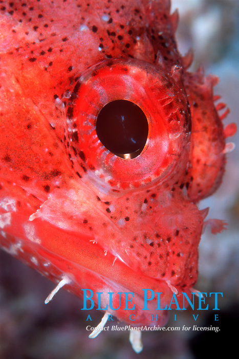 Madeira rockfish, Scorpaena maderensis, Portrait, Gran Canaria, Canary Islands, Spain, Atlantic Ocean