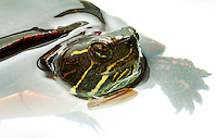 Eastern Painted Turtle.Chrysemys picta