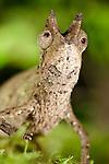 Stump-tailed Leaf Chameleon (Brookesia superciliaris) in rainforest leaf-litter. Masoala National Park, Madagascar.