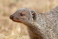 Banded Mongoose, Mungos mungo, in Serengeti National Park, Tanzania