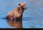 Alaskan Coastal Brown Bear Fishing with Leaf, Silver Salmon Creek, Lake Clark National Park, Alaska