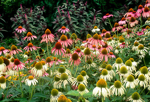 Native pink and white coneflowers, Echinacea, in country garden