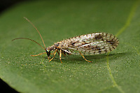 Gefleckter Taghaft, Micromus variegatus, Taghafte, Lacewing, Lacewings