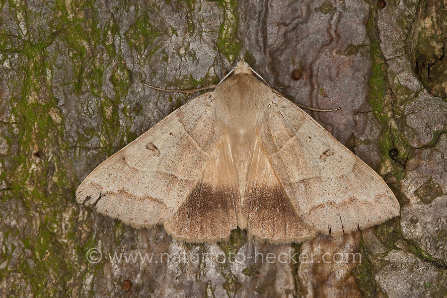 Braunes Ordensband, Minucia lunaris, Pseudophia lunaris, Lunar Double-stripe, Noctuidae, Eulenfalter