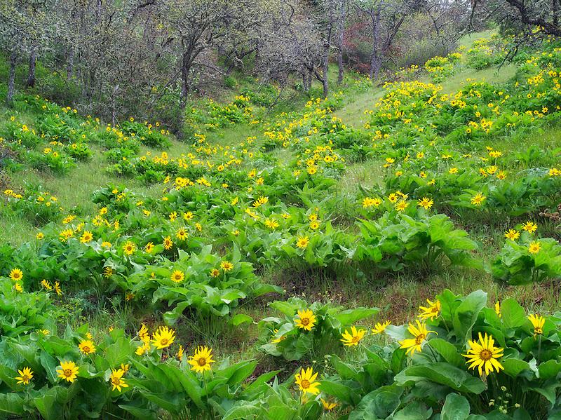 Balsamroot wildflowers. Columbia River Gorge National Scenic Area. Oregon