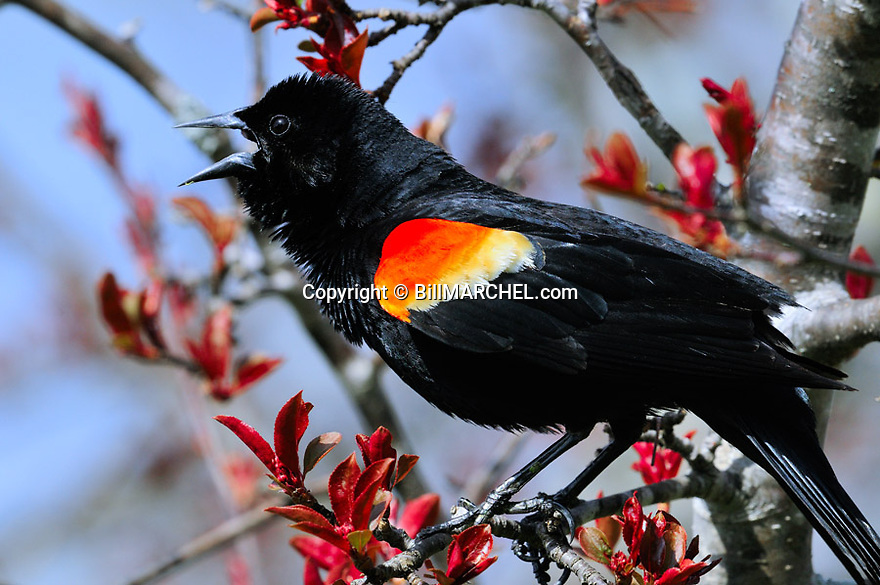 00080-013.02 Red-winged Blackbird male is singing while perched in red splendor crab apple tree.  Breed, call, spring, song.