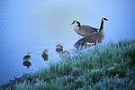 A Canada geese pair stand along the bank of the Yellowstone river with their goslings.
