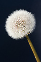 Seedhead of common dandelion (Taraxacum officinale).