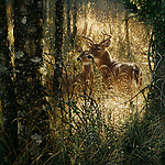 """NOTE FOR ONLINE:  MAXIMUM OF 10 IMAGES TO RUN ALONGSIDE THIS STORY - UNLESS OTHERWISE AGREED WITH A REVISED FEE IN PLACE.<br /> <br /> Pictured:  One of Collin Bogle's realistic paintings: A Golden Moment<br /> <br /> These intricately detailed pictures of wild animals look like photographs - but are in fact paintings.  American artist Collin Bogle's extraordinary work portrays close up encounters with animals such as lions, snow leopards, wolves, eagles and bears.<br /> <br /> He uses photos of the animals as a reference and spends between two weeks and two months painstakingly creating each piece.  Mr Bogle, who works out of his home in Seattle, Washington, in the United States, said: """"My dad is an artist and was also a high school art teacher - so I started learning to paint as soon as I could hold a brush.  SEE OUR COPY FOR DETAILS.<br /> <br /> Please byline: Collin Bogle/Solent News<br /> <br /> © Collin Bogle/Solent News & Photo Agency<br /> UK +44 (0) 2380 458800"""