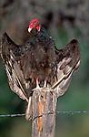 Turkey vulture, Texas