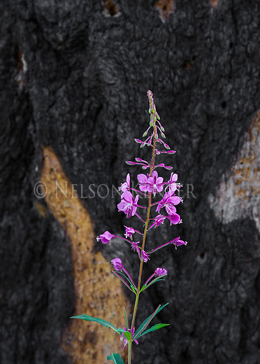a burned tree in the bob marshall wilderness with fireweed blooming.