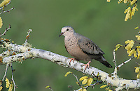Common Ground-Dove, Columbina passerina, adult, Lake Corpus Christi, Texas, USA, May 2003