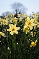 Narcissus Barrii Conspicuous