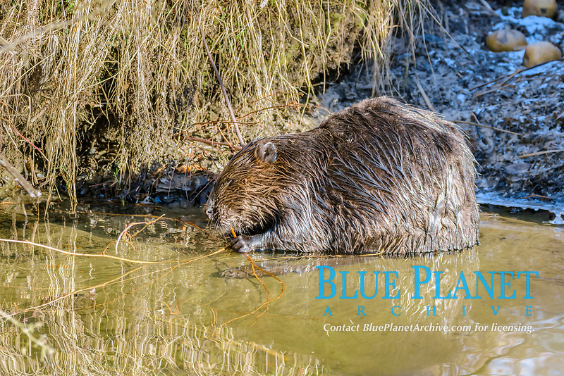 North American beaver, Castor canadensis, Burnaby Lake Regional Park, Burnaby, British Columbia, Canada