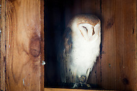 A dozing Barn owl, photographed in its enclosure at the Sulphur Creek Nature Center where injured wildlife are treated and, when possible, returned to the wild.