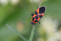 Schwalbenwurzwanze, Schwalbenwurz-Wanze, Schwalbenwurz-Ritterwanze, Tropidothorax leucopterus, ground bug, lygaeid bug, Bodenwanzen, Langwanzen, Lygaeidae, milkweed bugs, seed bugs