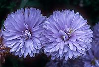 Aster novi-belgii 'Marie Ballard' GR4761 = Symphiotrichum novae-angliae Marie Ballard, double light blue