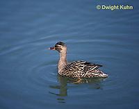 DG08-019z  Mallard Duck - female - Anas platyrhynchos