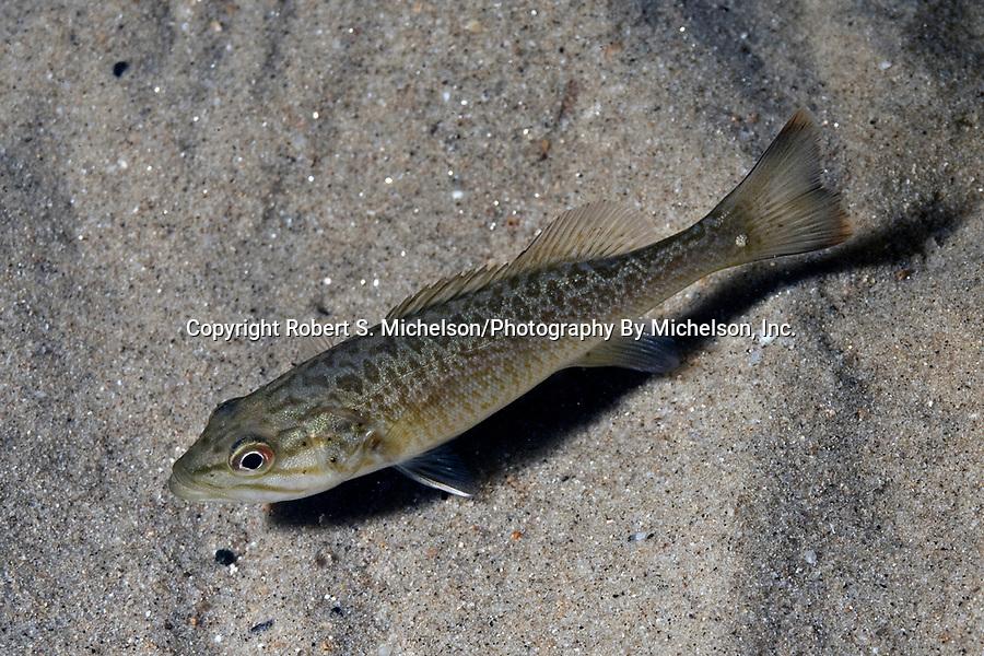 Smallmouth Bass Juvenile on sand habitat