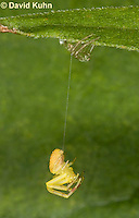 0818-0904  Young Crab Spider in Virginia Hanging by Spider Thread and Molting to Next Instar, Misumenops spp. © David Kuhn/Dwight Kuhn Photography.
