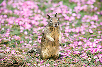 western gray squirrel, Sciurus griseus, adult standing among wild flowers, California, USA