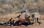 Coyotes, American magpies and a raven feeding on elk killed by grey wolves, Yellowstone National Park, Wyoming