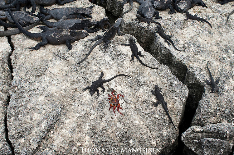 Marine iguanas and a sally lightfoot crab lay along a crevice in the Galapagos Islands, Ecuador.