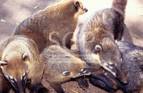 Iguassu, Brazil. Coati; Coatimundi (Nasua nasua). Ring-tailed member of the racoon family.